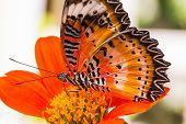 Male Leopard Lacewing Butterfly