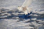 Snowy Owl Flies Away With Catch