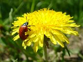 Dandelion And A Beetle