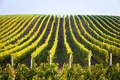 Horizontal Shot Of Central European Vineyard
