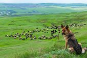 stock photo of herding dog  - a sheepdog guarding a flock of sheep - JPG