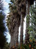 Shaggy Palm Tree