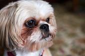 Shih tzu Dog Looking Forward