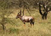 Topi - Medium-sized Antelope
