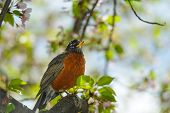 image of fluffing  - American Robin on a cherry tree in spring - JPG