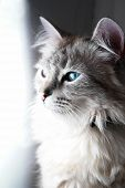 image of puss  - Blue eyed cat portrait in natural light - JPG