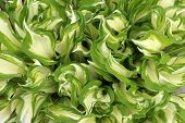 Gorgeous hosta plant