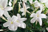 stock photo of jasmine  - closeup white flowers and leaves of jasmine plant - JPG