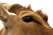 foto of eland  - Eland looking right into my camera therefore selective focus shot - JPG