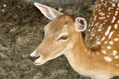 Roe Deer Fawn Close Up