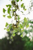 Ginkgo Biloba Tree In Spring