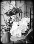 Orchids On Window Sill, Black And White Photo