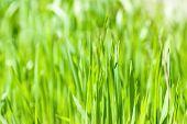 Fresh Green Grass In Sunshine(shallow Dof)