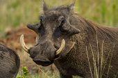 warthog,mammal