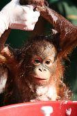 Baby Orang Utan Getting Bath