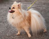Orange Pomeranian On Leash For A Walk
