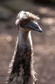 Emu Head And Neck In The Sunlight