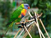 Rainbow Lorikeet In The Garden