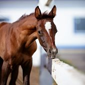 image of foal  - Portrait of a brown foal - JPG