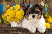 Beaver Yorkshire Terrier and dandelions flowers