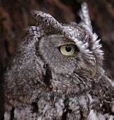picture of screech-owl  - A side profile shot of an Eastern Screech Owl  - JPG