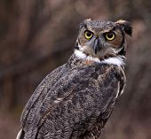 Concerned Great Horned Owl