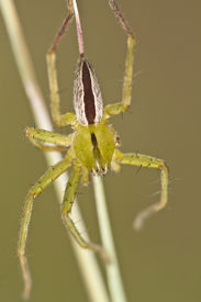 stock photo of huntsman spider  - Close up view of beautiful green huntsman spider  - JPG