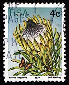 Postage Stamp South Africa 1977 Long-leaf Sugarbush, Plant