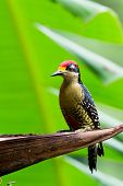 Black - Cheeked Woodpecker