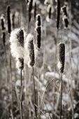 image of cattail  - Brown cattails with fluffy seeds in winter - JPG