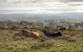 Shropshire Cattle