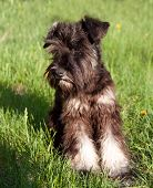 Miniature Schnauzer Walking Outdoors