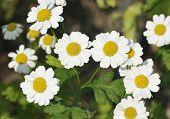 Feverfew flower