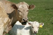 picture of charolais  - charolais mother and son  - JPG