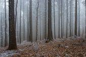 In Frosty Pine - Wood