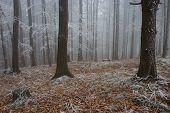 Frosty Pine - Wood