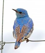 stock photo of songbird  - A Mountain Bluebird perches on a fence near the Waterton Lakes National Park in southern Alberta - JPG