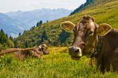 Kühe im Gras in den Bergen liegend