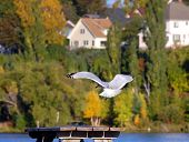 Gull Goes In For Landing
