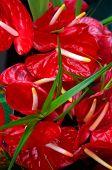 Prolific Anthuriums On Big Island
