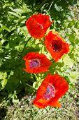 Red Poppy.