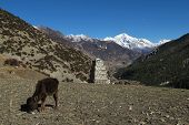 Grazing calf and snow capped Pisang Peak