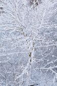 Closeup Tree Covered With Snow As Nature Background. Winter Season.