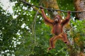 picture of orangutan  - Orangutan in the jungle of Borneo - JPG