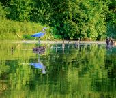 image of bluegrass  - Blue Heron - JPG