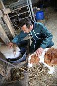Cheerful farmer petting cows in barn