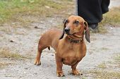 Dachshund - hunting breed dogs.