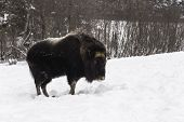 Musk Ox in a winter scene