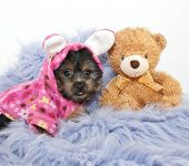 stock photo of yorkie  - Yorkie puppy wearing bunny p - JPG