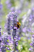 Lavender Flowers Blooming In Garden And The Wasp Collect Nectar.